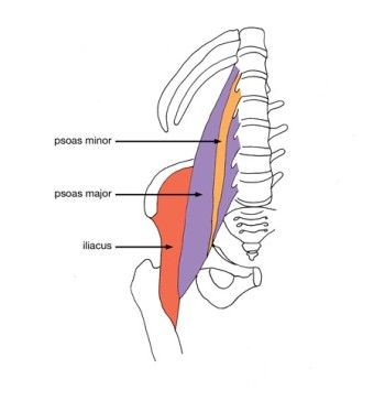 Where-the-Psoas-Muscle-is-located.jpg